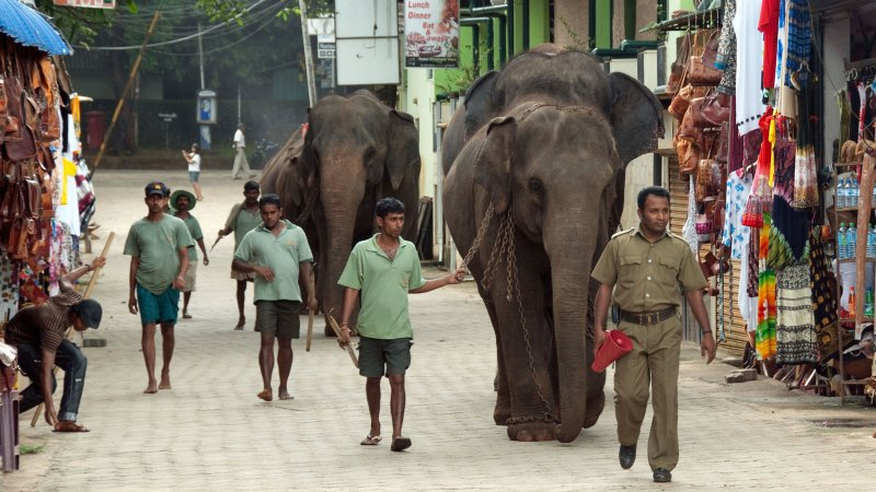 Bull Elephants, Sri Lanka